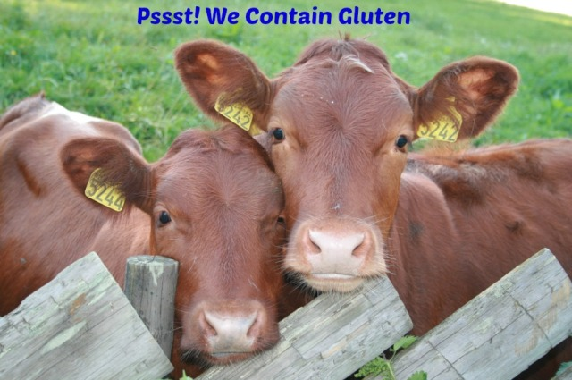 Gluten cows